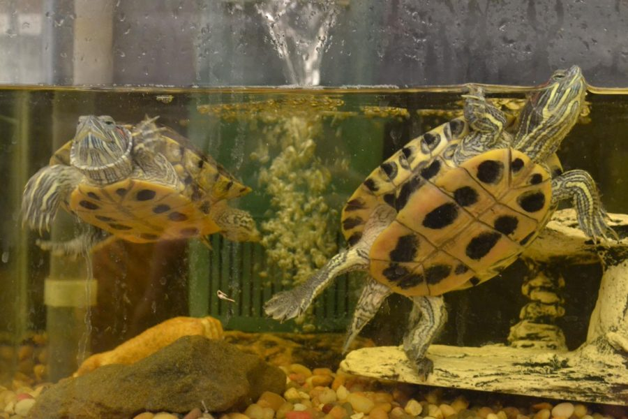Lynas and Oswald swim over to Mr. Smith for feeding time.