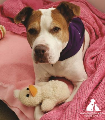Donate to the Washington Area Humane Society to help dogs, like this Terrier-Pit Bull mix named Ruby, who are waiting to find their forever homes!