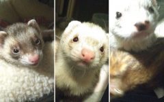 Ferrets Jaq (left), Gus Gus (center) and Mowgli (right) pose for a picture. These three are lucky to have found such a welcoming home.